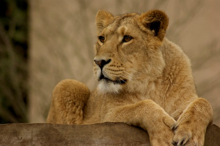Easter Events in Notting Hill and Kensington- Lion at London Zoo